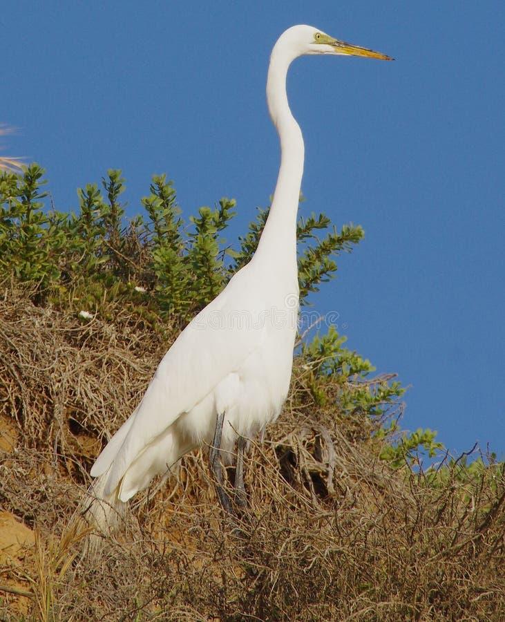 伟大的白色白鹭站立高在Grandview海滩, Encinitas加利福尼亚的丛林 库存照片