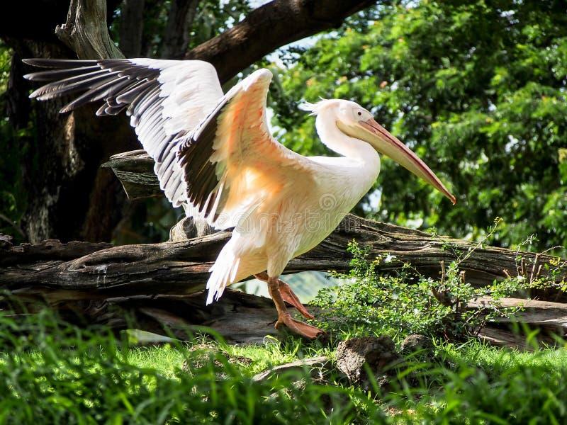 伟大的白色鹈鹕传播的翼 免版税库存图片