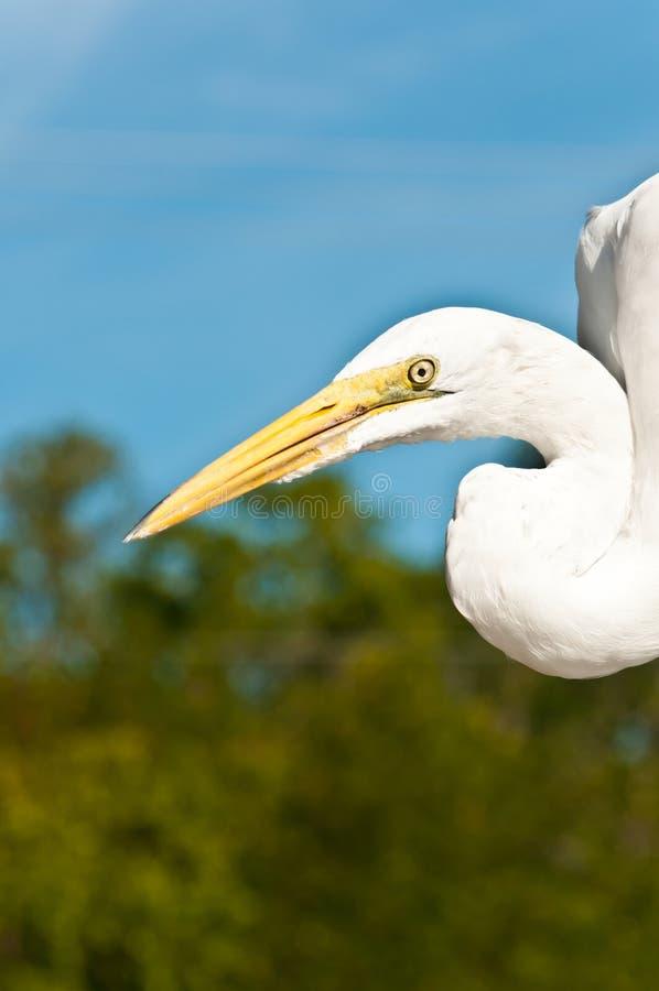伟大的白鹭保持平衡捉住鱼小块热带小游艇船坞在墨西哥湾 图库摄影