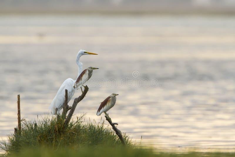 Download 伟大的白鹭和印地安池塘苍鹭在Arugam海湾盐水湖,瘦的Sri 库存照片 - 图片 包括有 小珠靠岸的, 预留: 59103390