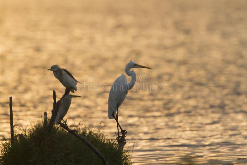 Download 伟大的白鹭和印地安池塘苍鹭在Arugam海湾盐水湖,瘦的Sri 库存照片 - 图片 包括有 通配, 野生生物: 59103518