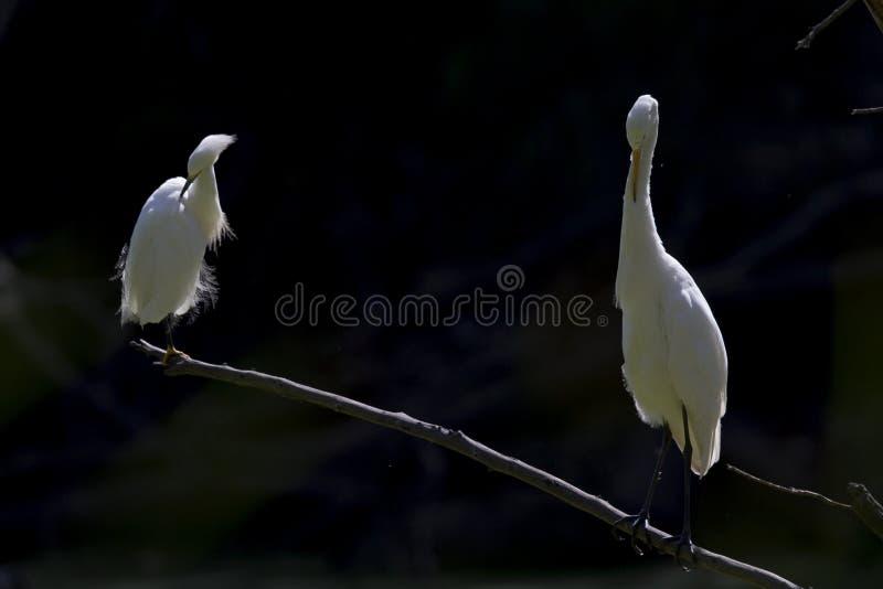 伟大的白鹭和被栖息和自夸在一个分支的一只白鹭在一黑暗的backgro前面的一个公园 免版税库存照片