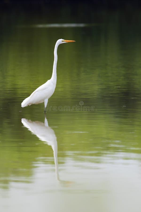 伟大的白鹭在湖 库存图片