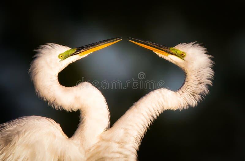 伟大的白鹭求爱 免版税库存照片