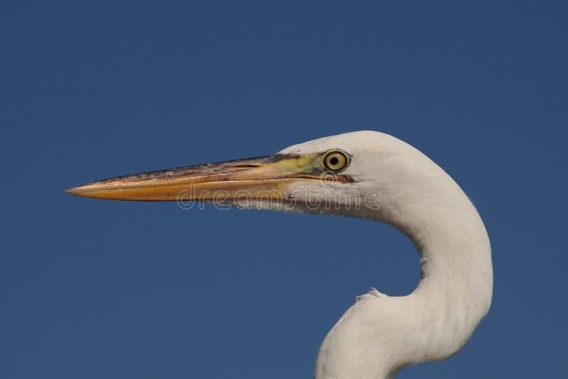 伟大的白鹭画象,大沼泽地国家公园 免版税库存照片
