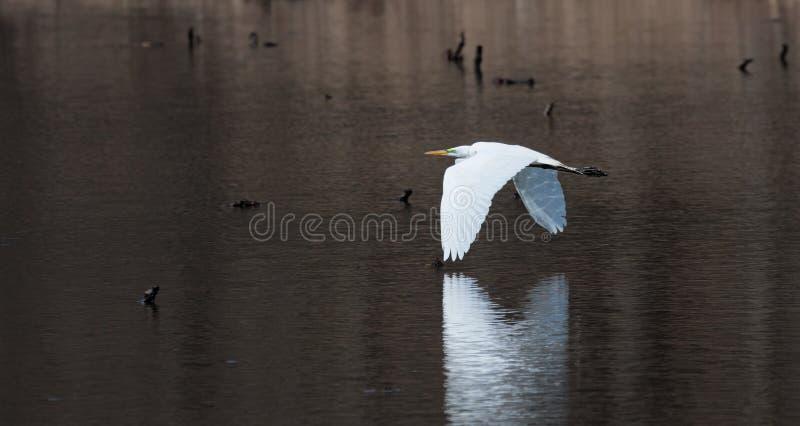 伟大的白鹭的反射的翼 免版税库存图片