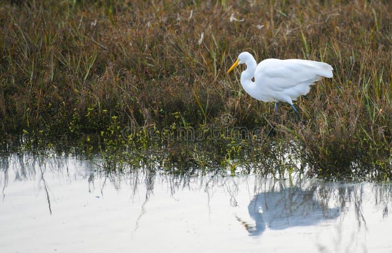 伟大的白鹭的反射 图库摄影