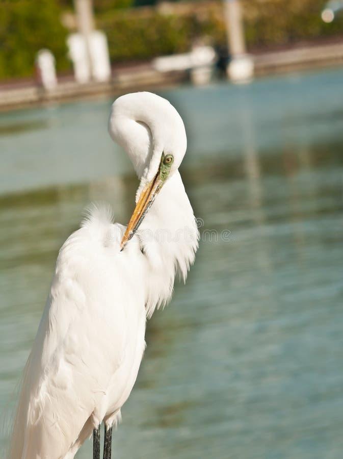 伟大的白鹭自夸的羽毛 图库摄影