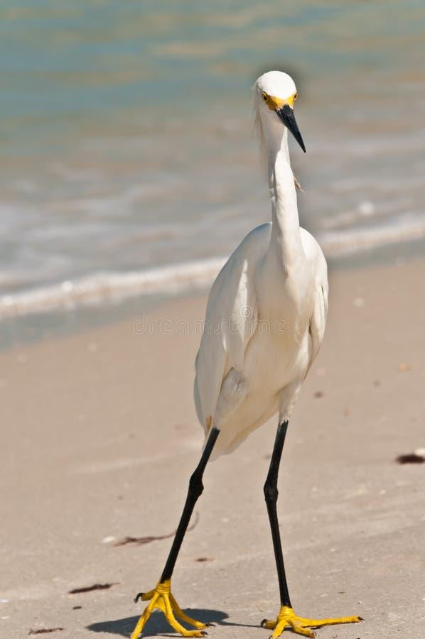 伟大的白鹭自夸的羽毛 库存图片