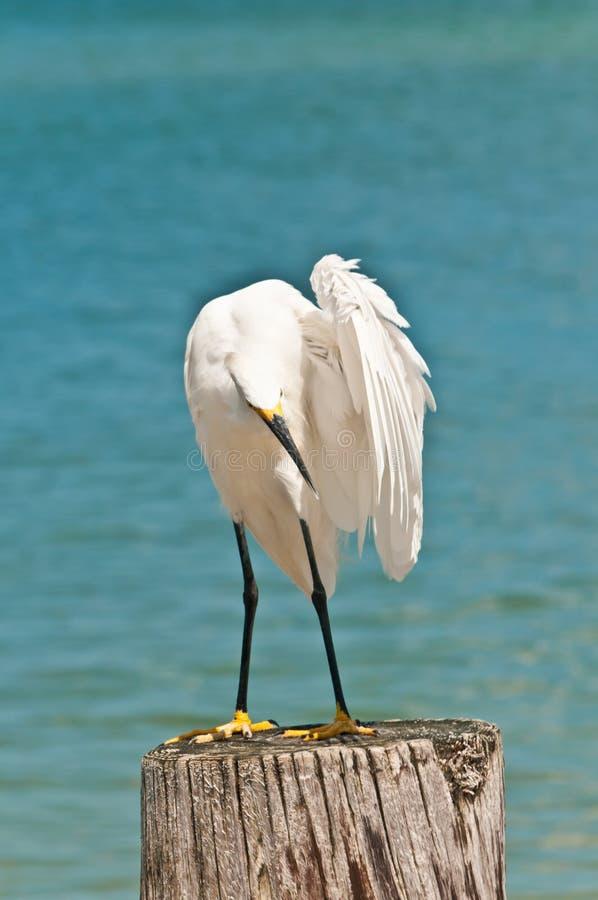 伟大的白鹭自夸的羽毛 免版税库存照片