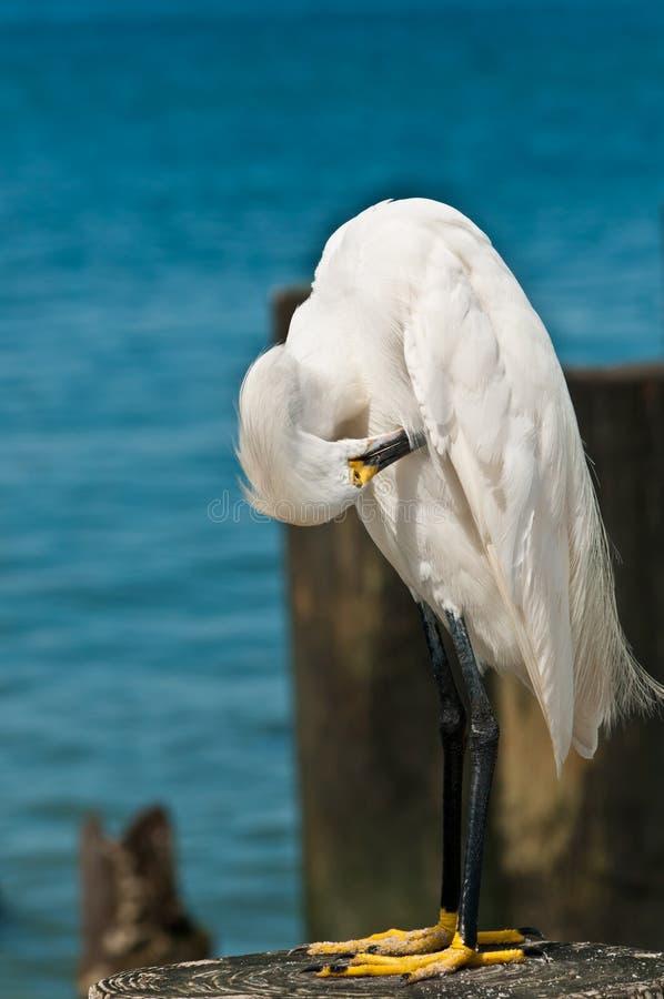 伟大的白鹭自夸的羽毛 免版税库存图片