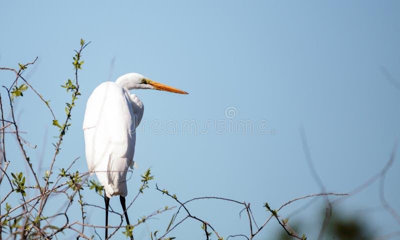伟大的白鹭鸟, Ardea晨曲,在沼泽 免版税库存照片