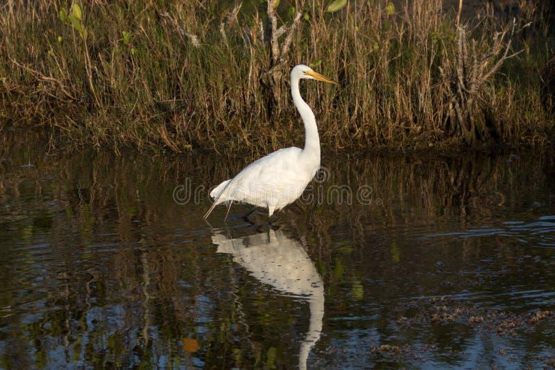 伟大的白鹭,梅里特岛全国野生生物保护区,佛罗里达 免版税库存照片