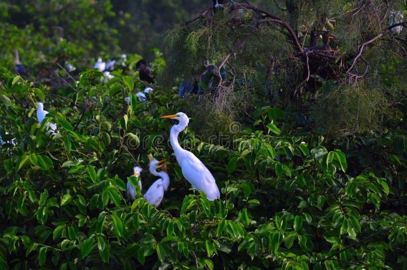 伟大的白鹭(晨曲的Ardea)与巢的婴孩 免版税库存照片