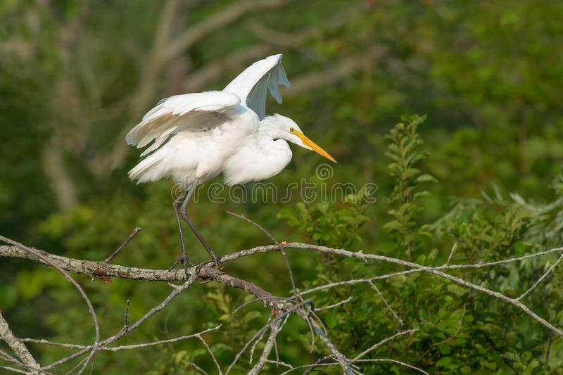 伟大的白鹭-晨曲的Ardea 库存图片