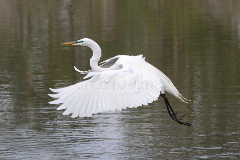 伟大的白鹭(晨曲的Ardea) 免版税图库摄影
