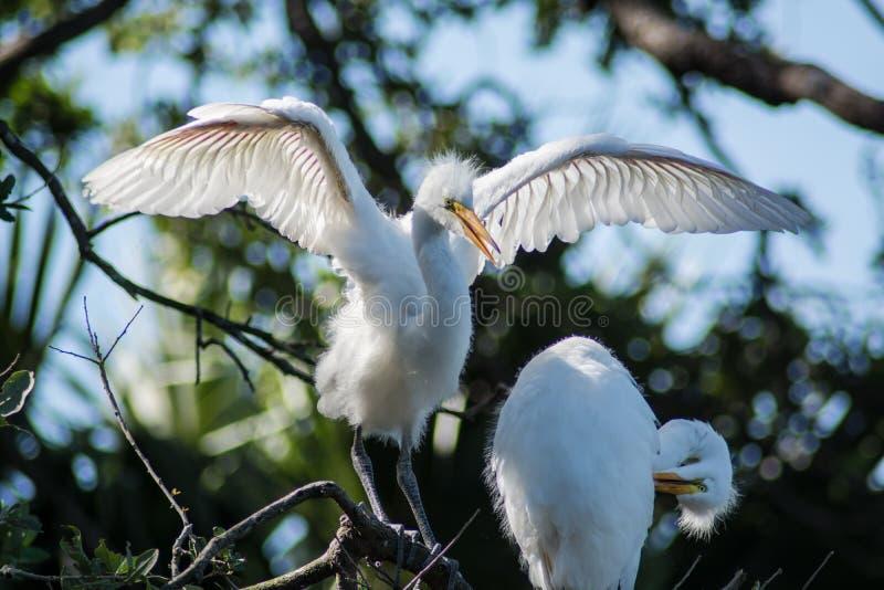 伟大的白鹭 库存图片