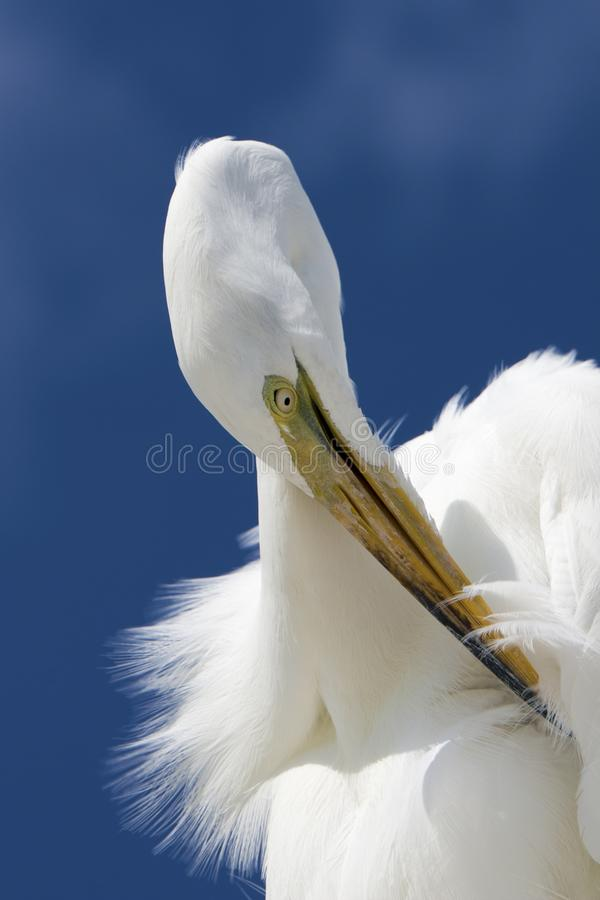 伟大的白鹭Ardea晨曲自夸 库存照片