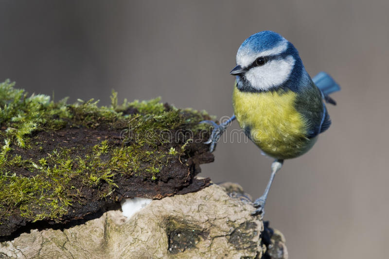 伟大的蓝冠山雀 库存照片