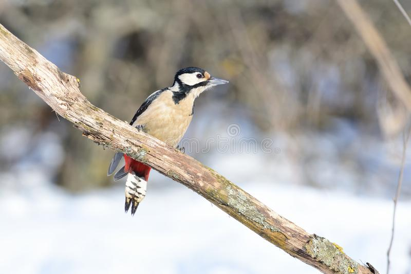 伟大的被察觉的啄木鸟坐一个分支在森林里,摇晃它的尾巴 库存图片