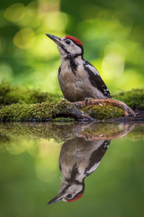 伟大的被察觉的啄木鸟,主要的Dendrocopos坐在森林waterhole 免版税库存图片