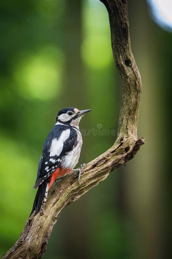伟大的被察觉的啄木鸟,主要的Dendrocopos坐树分支  库存图片