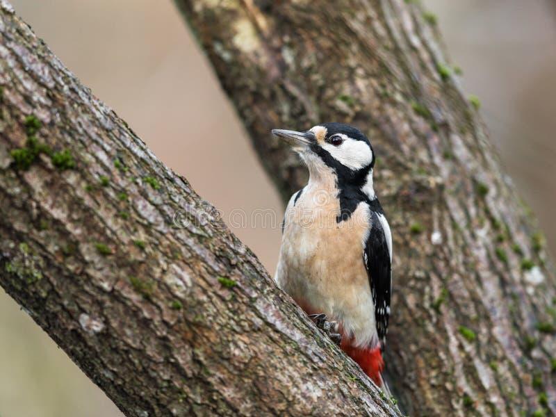 伟大的被察觉的啄木鸟, Dendrocopos母鸟少校,坐树 免版税库存图片