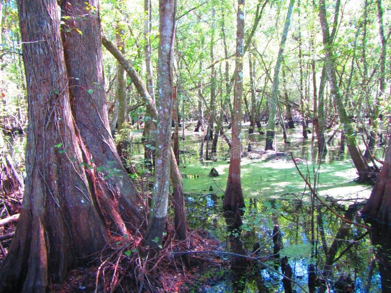 伟大的赛普里斯沼泽 免版税图库摄影