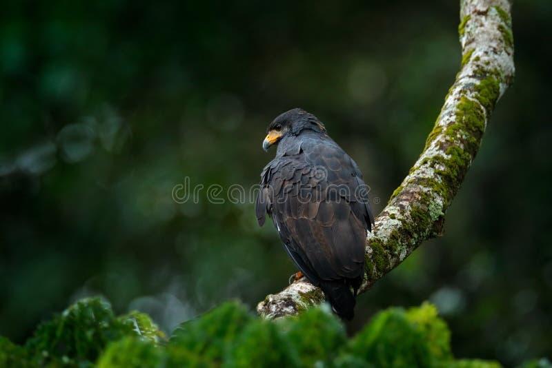 伟大的黑鹰, Buteogallus urubitinga,大鸟在中南美洲发现了 在树的雕 鸟,后面的森林 库存图片