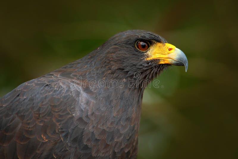伟大的黑鹰, Buteogallus urubitinga,野生鸟细节画象从伯利兹的 鸟的监视人南美 野生生物场面 免版税库存照片