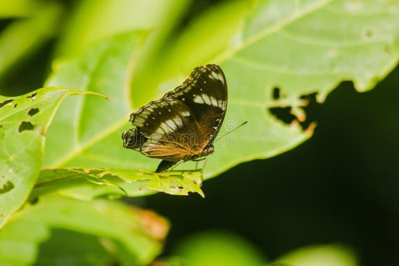 伟大的Eggfly在叶子 免版税库存图片