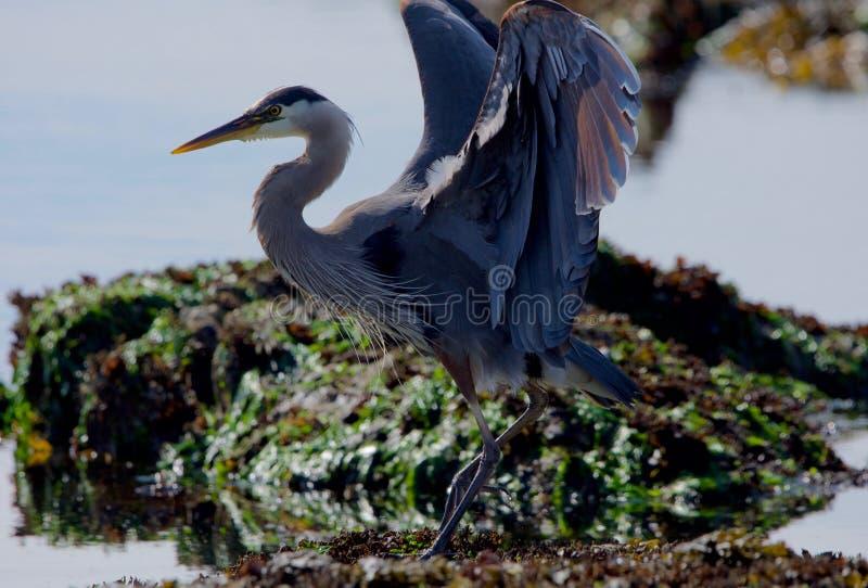伟大蓝色的苍鹭的巢为平衡按照现在情况停滞它的翼在海草被盖的岩石 免版税图库摄影