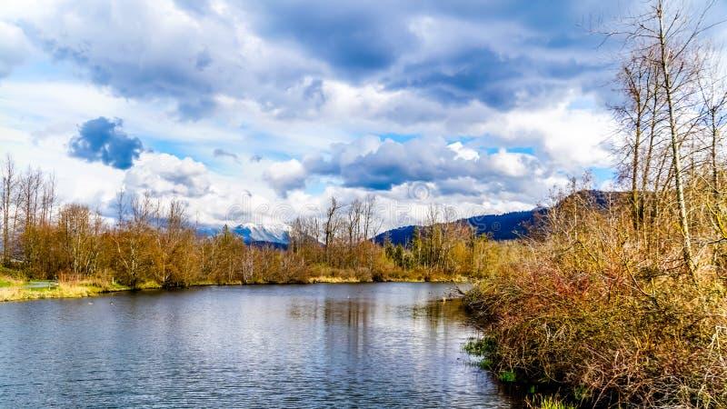 伟大蓝色的苍鹭的巢储备的盐水湖在Chilliwack附近, BC,加拿大 免版税库存照片
