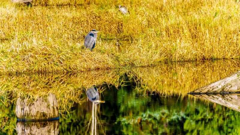 伟大蓝色的苍鹭的巢反射在Silverdale小河沼泽地的镇静水,在使命附近的淡水沼泽中,BC,加拿大 库存照片