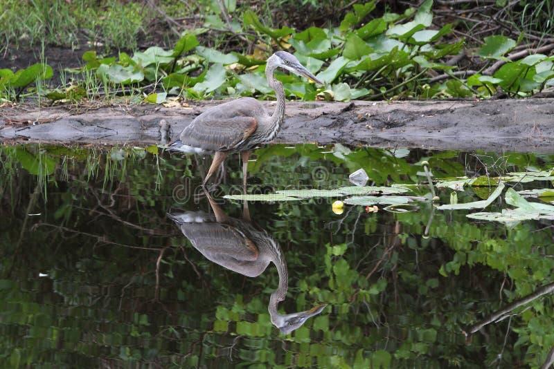 伟大蓝色的苍鹭的巢和反射 免版税图库摄影