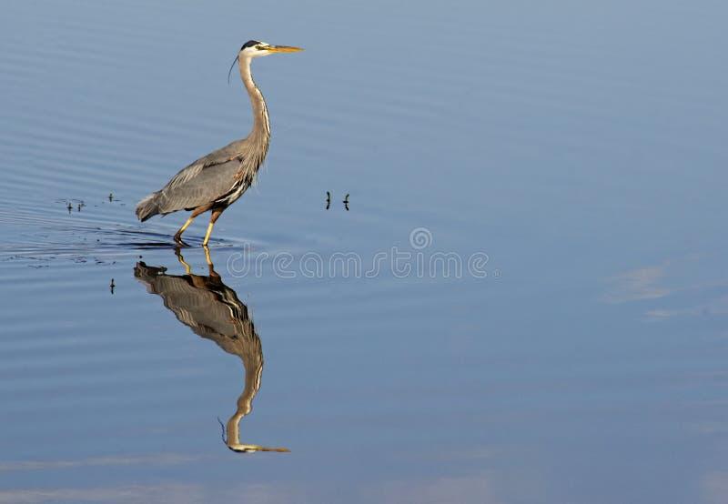 伟大蓝色的苍鹭的巢和水反射 免版税库存照片
