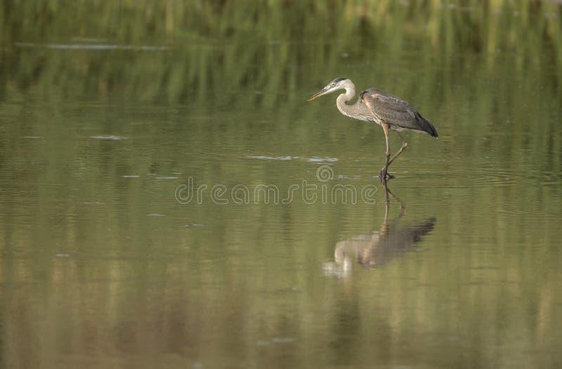 伟大蓝色的苍鹭的巢在树丛del亚帕基, NM 免版税库存图片