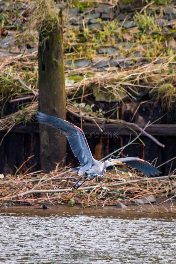 伟大蓝色的苍鹭的巢在Astoria,俄勒冈 免版税图库摄影