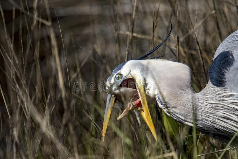 伟大蓝色的苍鹭的巢处于危险中 库存图片