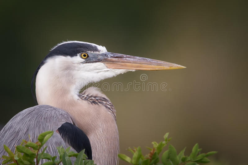 伟大蓝色的苍鹭的巢外形 免版税图库摄影