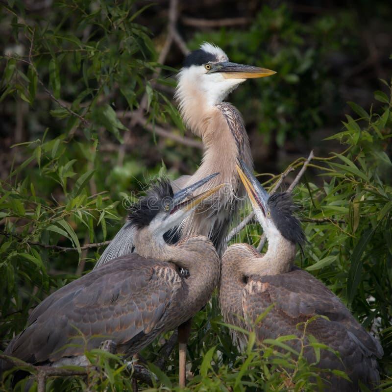 伟大蓝色的苍鹭的巢巢 库存图片