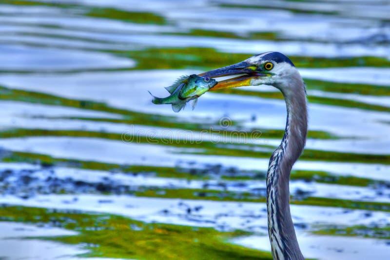 伟大蓝色的苍鹭的巢捉住在高力学范围的一条大翻车鱼 免版税库存图片