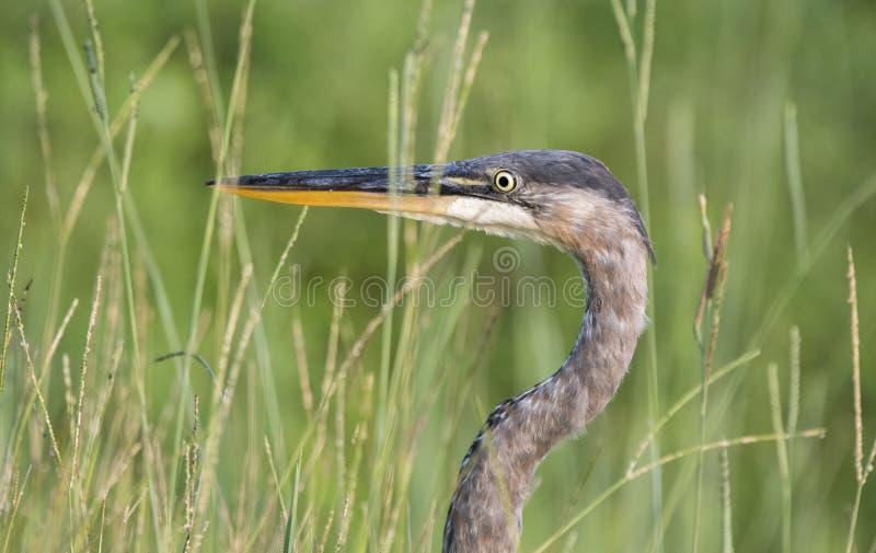 伟大蓝色的苍鹭的巢掩藏在池塘草的,乔治亚美国 免版税库存图片