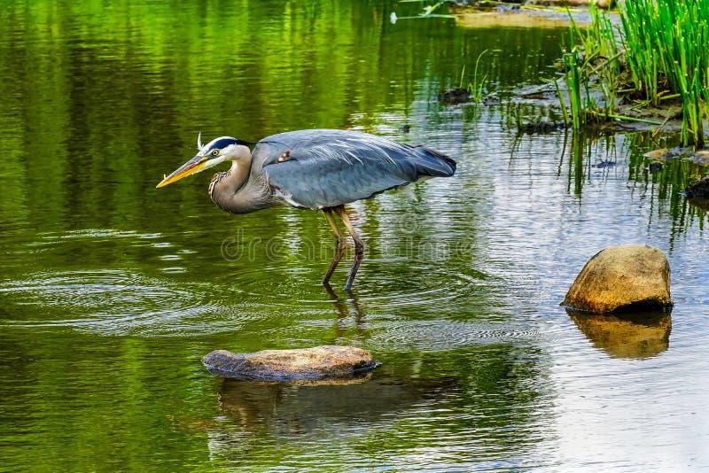 伟大蓝色的苍鹭的巢池塘Vanier公园温哥华不列颠哥伦比亚省加拿大 免版税图库摄影