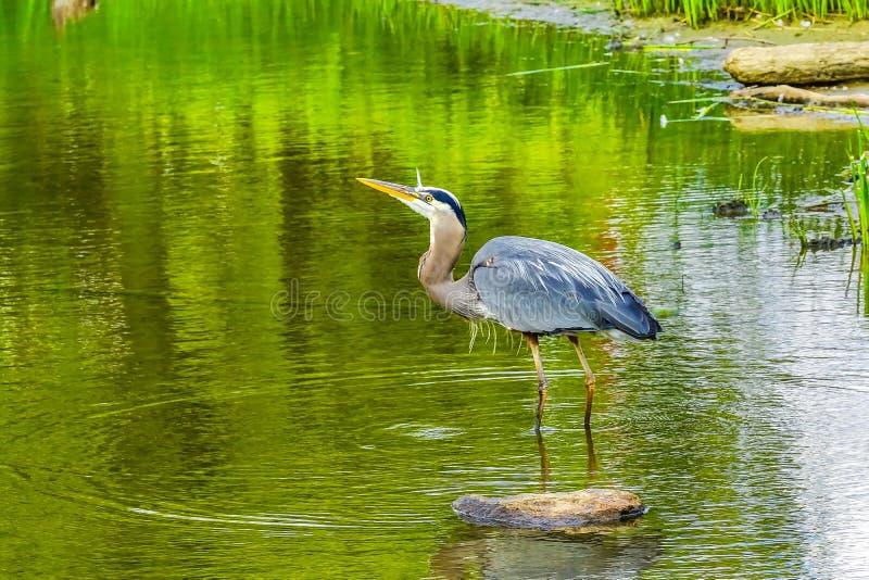 伟大蓝色的苍鹭的巢池塘Vanier公园温哥华不列颠哥伦比亚省加拿大 图库摄影