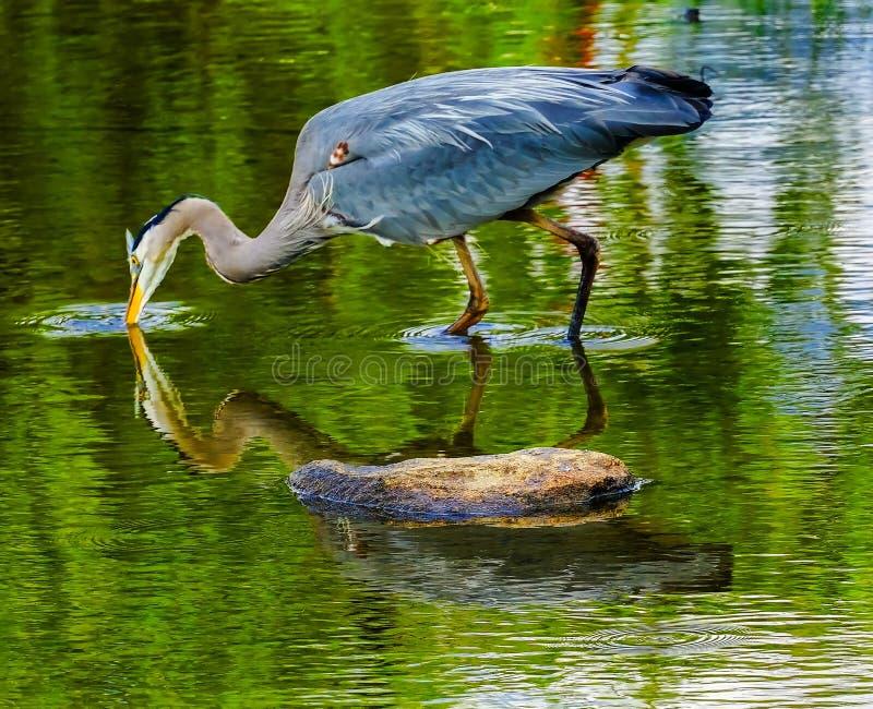 伟大蓝色的苍鹭的巢池塘Vanier公园温哥华不列颠哥伦比亚省加拿大 免版税库存照片