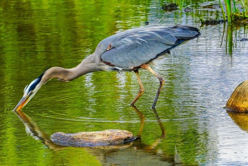 伟大蓝色的苍鹭的巢池塘Vanier公园温哥华不列颠哥伦比亚省加拿大 免版税库存图片