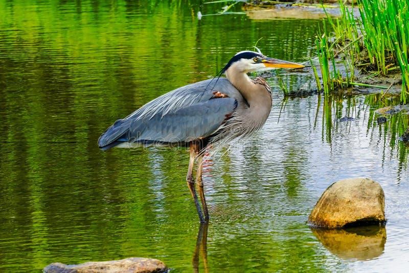 伟大蓝色的苍鹭的巢池塘Vanier公园温哥华不列颠哥伦比亚省加拿大 库存照片