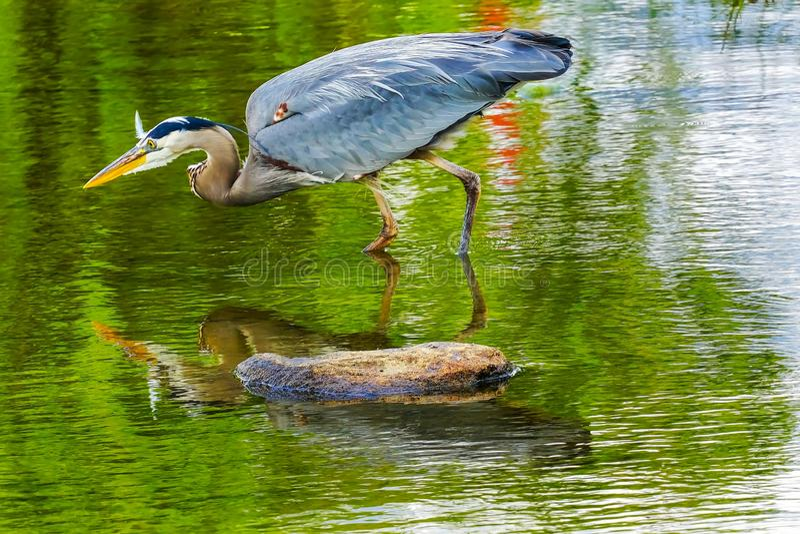 伟大蓝色的苍鹭的巢池塘Vanier公园温哥华不列颠哥伦比亚省加拿大 库存图片