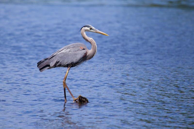 伟大蓝色的苍鹭的巢渔 库存照片